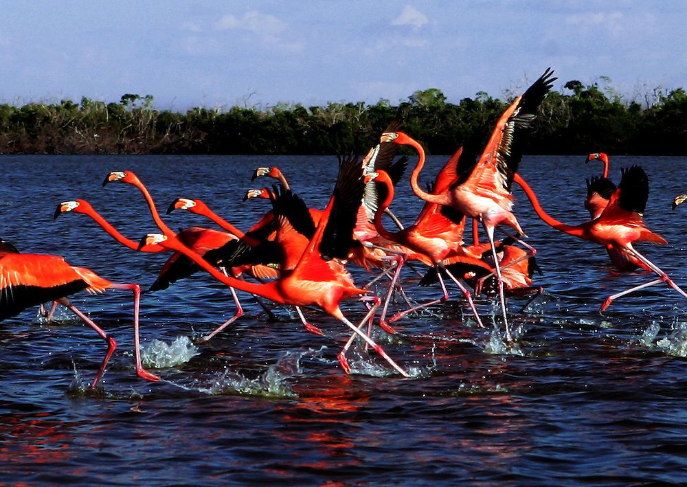 Pink Flamingos at Rio Lagartos on the northern shore of the Yucatan Peninsula , Mexico.