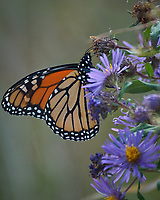 Monarch Butterfly Feeding on a Purple Wildflower. Image taken with a Nikon D2xs camera and 80-400 mm telephoto zoom lens (ISO 400, 400 mm, f/5.6, 1/320 sec).