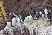 Common Murre - Uria aalge standing on a ledge with one in flight