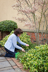 Feeding shrubs in a border with fertiliser (Growmore)