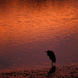 New Castle, NH.A Great Blue Heron, Ardea herodias, on the shores of Portsmouth Harbor.