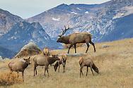 Rocky Mountain elk in autumn habitat
