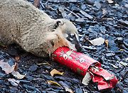 London December 17th  Merkats at the ZSL London Zoo are starting earlier the Christmas Celebration with special treats hidden in Christmas Crackers...***Agreed Fee's Apply To All Image Use***.Marco Secchi /Xianpix. tel +44 (0) 771 7298571. e-mail ms@msecchi.com .www.marcosecchi.com