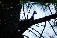 JEROME A. POLLOS/Press..A peacock takes refuge in a pine tree Friday near 9th Street and Hazel Avenue in Coeur d'Alene.