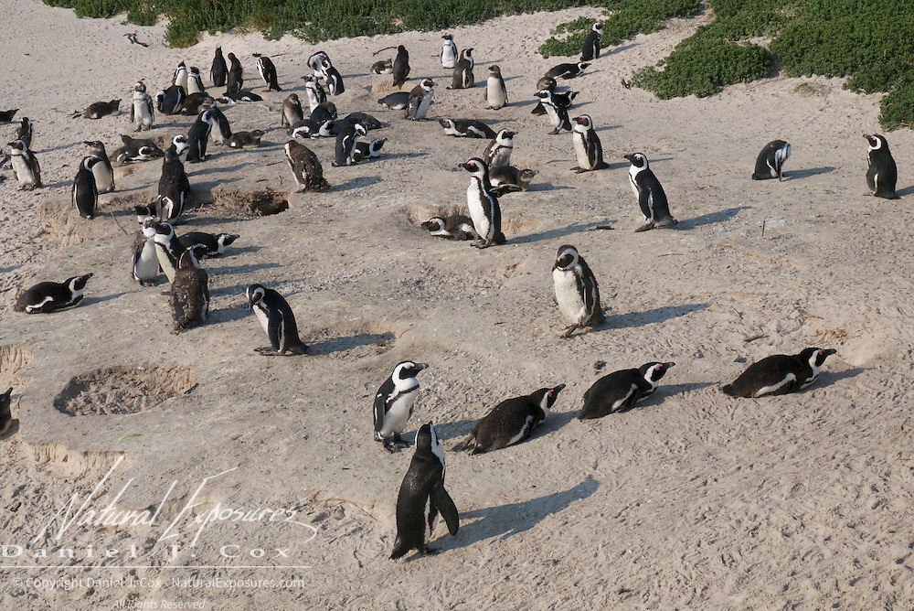 African Penguin, Boulders Penguin Colony in Simons Town, South Africa.