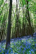 Spring Bluebells in sahded wood near Bristol