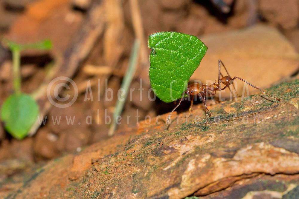 Alberto Carrera, Leafcutter Ant, Tropical Rainforest, Marino Ballena National Park, Uvita de Osa, Puntarenas, Costa Rica, Central America, America