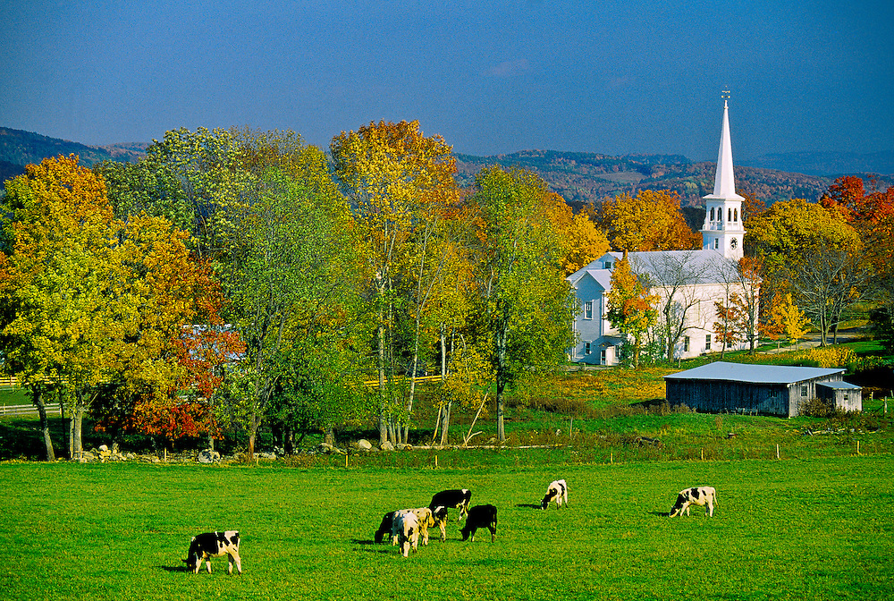 Cows in a field, Peacham, Vermont USA