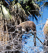 A captive coati (member of the raccoon family, Procyonidae) climbs a tree at the Sonoran Desert Museum, Tucson, Arizona, USA.