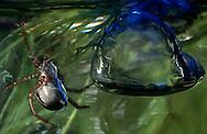 DEU, Deutschland: Spinnen, Wasserspinne (Argyroneta aquatica) schwimmt unter Wasser, neben ihr ihre Luftglocke oder Luftblase, einzige Spinne die permanent im Wasser lebt, sie ist giftig und steht unter Schutz, Lebensraum: pflanzenreiche Teiche und Tümpel, Cuxhaven, Niedersachsen | DEU, Germany: Spiders, Diving bell spider (Argyroneta aquatica) swimming under water, next to her air bubble or diving bell, these spider is the only one which lives permanent under water, it?s toxic and is under protection, habitat: plant rich tarns and ponds, Cuxhaven, Lower Saxony |