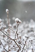 Wildflower seedheads in snowstorm.