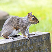 North American grey squirrel (Sciurus carolinensis), Glasnevin Cemetery, Dublin, Ireland