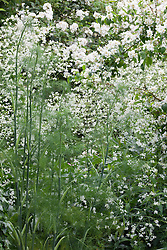 White and green combination of Foeniculum vulgare, fennel, with Crambe cordifolia and philadelphus