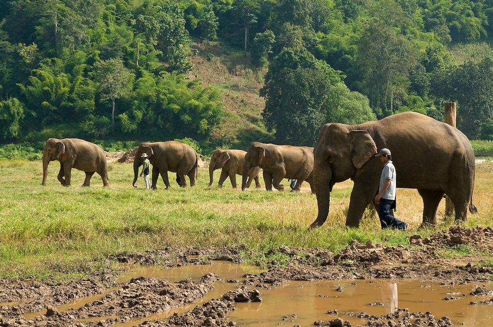 "Thai mahouts (A term meaning driver or keeper of an elephant) monitor the elephants at the Elephant Nature Park near Chiang Mai, Thailand.  Sangduen ""Lek"" Chailert founded the park as a sanctuary and rescue centre for elephants.  The park currently has 32 elephants sponsored and supported by volunteers from all over the world."