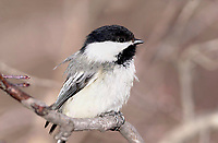 Black-capped Chickadee (Parus atricapillus), Inglewood Bird Sanctuary, Calgary, Alberta, Canada   Photo: Peter Llewellyn