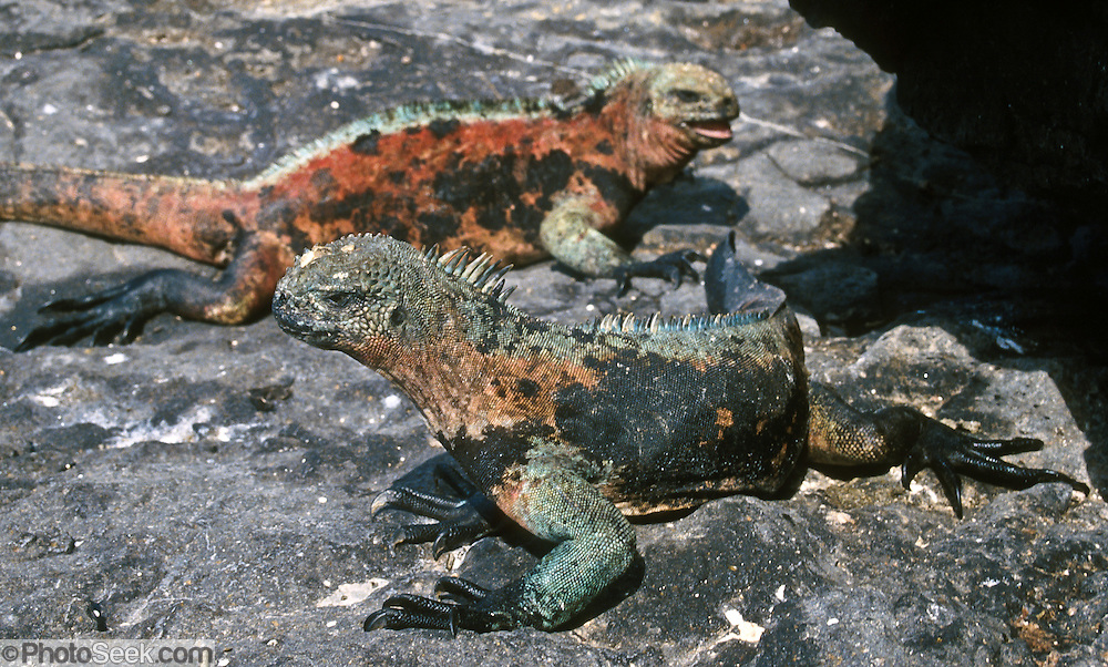 A Galapagos Marine Iguana (Amblyrhynchus cristatus) displays red and greenish breeding colors on the Galápagos Islands, Ecuador, South America. Marine Iguanas, the world's only sea-going lizard species, are found nowhere else on earth. Marine Iguanas feed almost exclusively on marine algae, expelling the excess salt from nasal glands while basking in the sun, coating their faces with white. Marine Iguanas live on the rocky shore or sometimes on mangrove beaches or marshes. Most adults are black, some grey, and the young have a lighter colored dorsal stripe. The somber tones allow the species to rapidly absorb the warm rays of the sun to minimize the period of lethargy after emerging from the frigid water, which is cooled by the Humboldt Current. Breeding-season adult males on the southern islands are the most colorful and will acquire reddish and teal-green colors, while Santa Cruz males are brick red and black, and Fernandina males are brick red and dull greenish. The iguanas living on the islands of Fernandina and Isabela (named for the famous rulers of Spain) are the largest found anywhere in the Galápagos. The smallest iguanas are found on Genovesa Island. Fernandina Island was named in honor of King Ferdinand II of Aragon, who sponsored the voyage of Columbus.