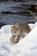 Bobcat (Lynx rufus) in winter habitat
