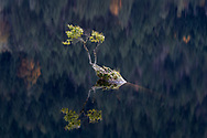 Reflection of a small Black Cottonwood (Populus balsamifera ssp. trichocarpa) tree growing out of a deadhead at Silver Lake Provincial Park in Hope, British Columbia, Canada
