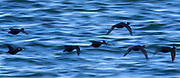 Seven surf scoters (Melanitta perspicillata) fly over the blue water of Hood Canal near Hansville, Washington. Surf scoters are large sea ducks that are native to North America. Their breeding grounds are in Alaska and Northern Canada, but they winter along the Pacific and Atlantic coasts, as far south as Baja California and Texas.