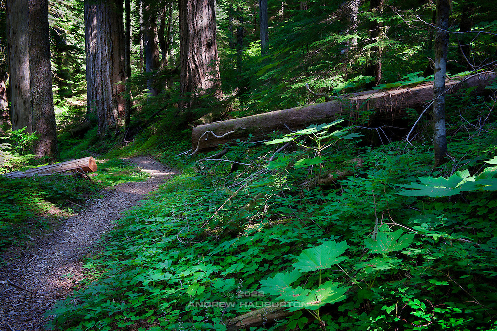 Path and forest plants in the Bull Run watershed near Mount Hood, Oregon.  This is the origin of Portland's drinking water, which flows by gravity to the Mount Tabor reservoirs before entering the City's water distribution network.