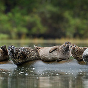 Harbor Seals resting on log;  Khutze Bay, British Columbia in wild.