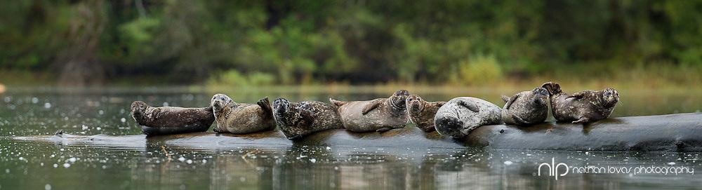 Harbor Seals resting on log;  Khutze Bay, British Columbia in wild.