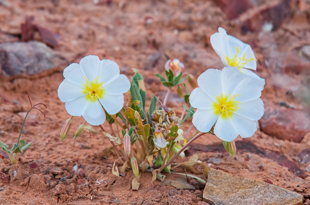 These absolutely beautiful springtime evening primroses stand out in sharp contrast against the red sands of Nevada's Valley of Fire, just east of Las Vegas.