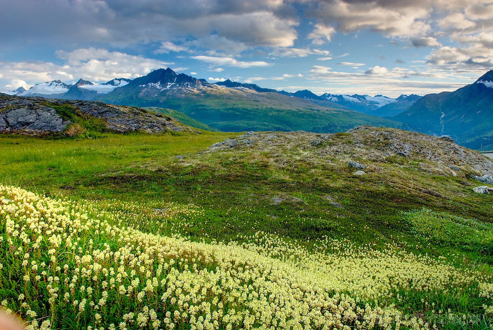 Alpine meadows carpeted with Partridge Foot (Luetkea pectinata) in the Chugach Mountains near Thompson Pass Alaska USA