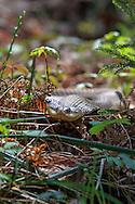 Eastern Hognosed Snake hunting in habitat