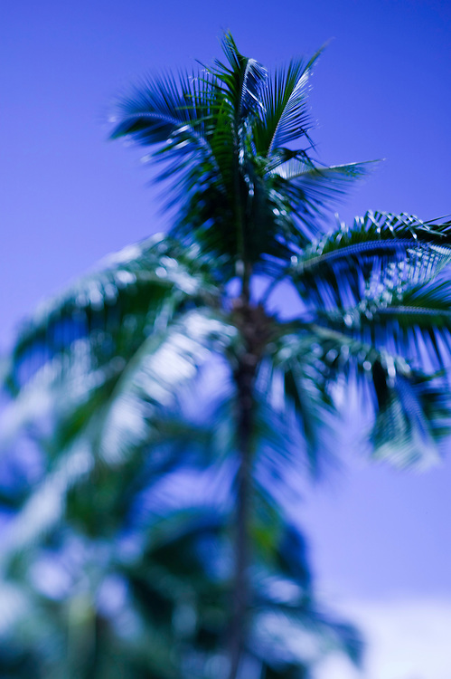 Palm or coconut trees