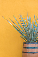 Agave plant at the production facility of the artesenal tequila distillery Mayapan in Valladolid, Mexico.