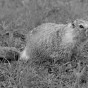 Grazing Marmot - Yellowstone National Park - Black & White