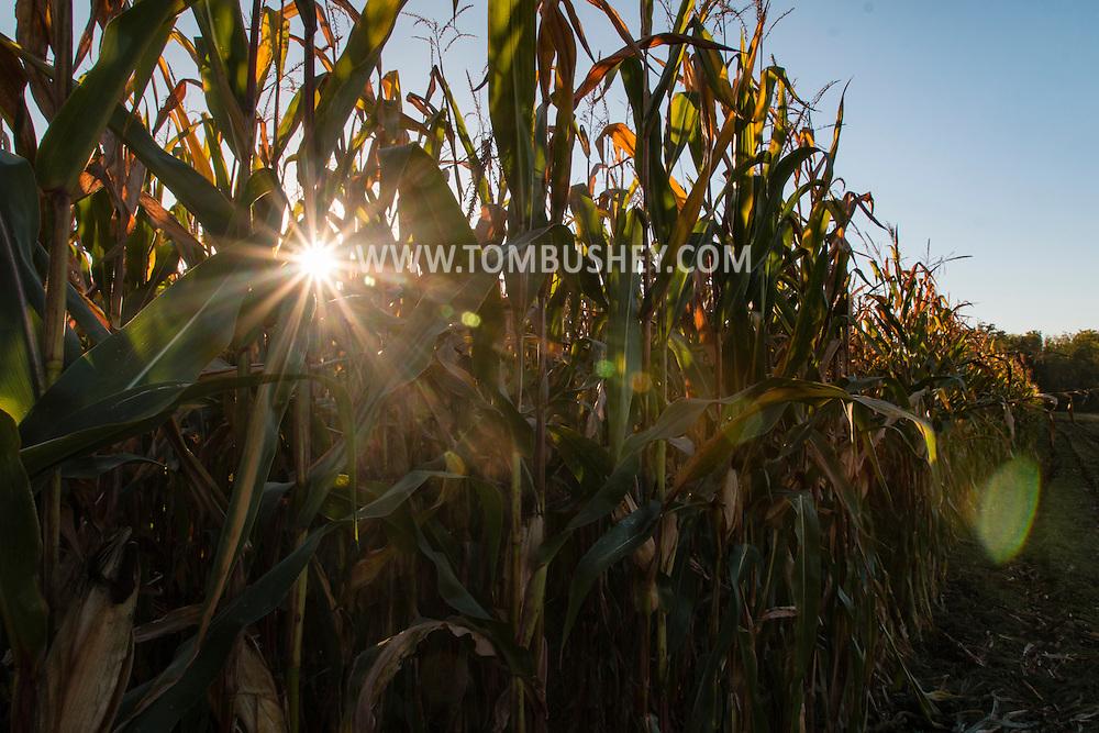 Goshen, New York - The setting sun shines through stalks  in a cornfield on Sept. 17, 2015.