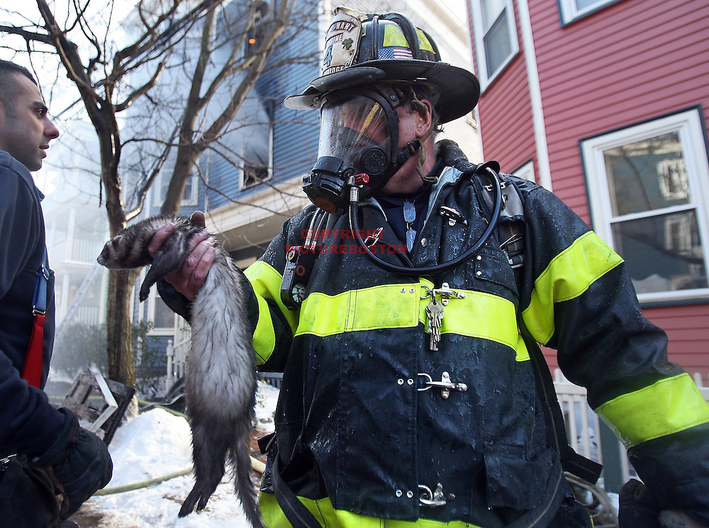 (01/12/10-Cambridge,MA) 2 alarm fire injures a firefighter while several ferrets were saved. The fire at #41 Magnolia ave caused heavy damage to the triple decker and sent one firefighter to the hospital. Here, fire lieutenant Bobby Bell rescues a ferret.  Staff photo by Mark Garfinkel