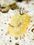 A gold lace nudibranch in Maui, Hawaii