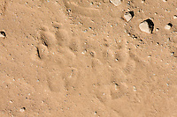 Animal tracks, Kaeng Krachan National Park, Thailand