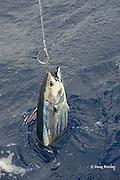 live bait rigged skipjack tuna, Katsuwonus pelamis, Vava'u, Kingdom of Tonga, South Pacific