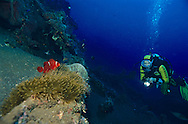 Spinecheek clownfish (Premnas aculeatus) Tulamben, Bali, Indonesien