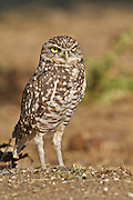 The Burrowing Owl nests in burrows, usually excavated by prairie dogs and squirrels.  These wild burrowing owls were found in Northern California.