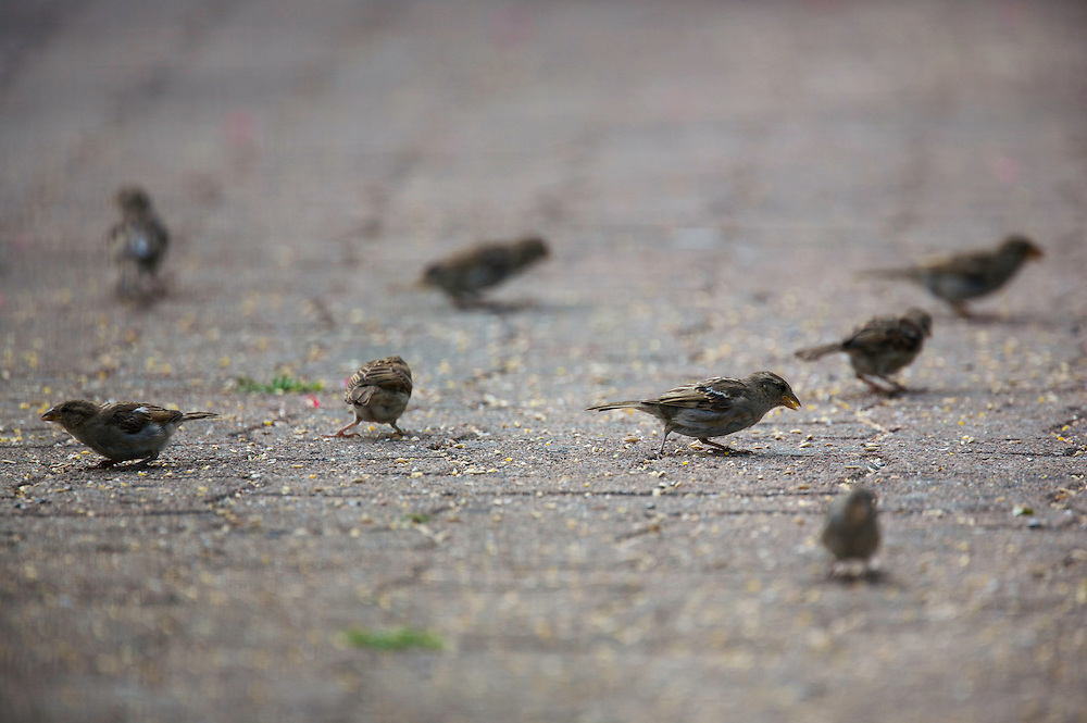 House Sparrows (Passer domesticus) feeding on drive-way in Sentes des Enghardes in Pont-du-Chateau, Auvergne, France.