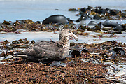 Southern Giant Petrel (Macronectes giganteus) resting on the shoreline of Sea Lion Island, the Falklands.