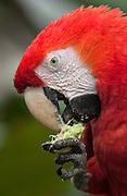 Scarlet Macaw<br /> Ara macao<br /> Amazon Rain Forest. ECUADOR. South America<br /> Range: Colombia to Amazonian Brazil