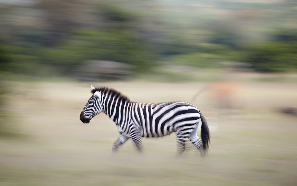 A zebra running in Solio, Kenya