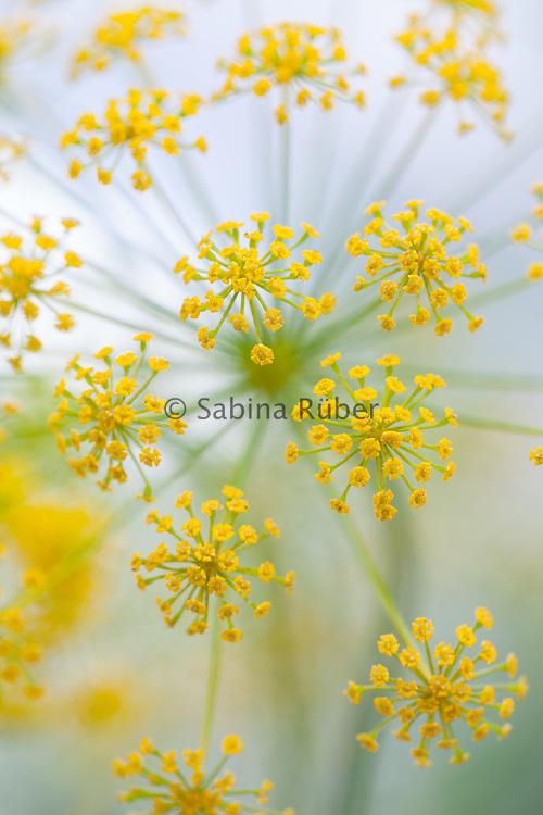 Ridolfia segetum - false fennel
