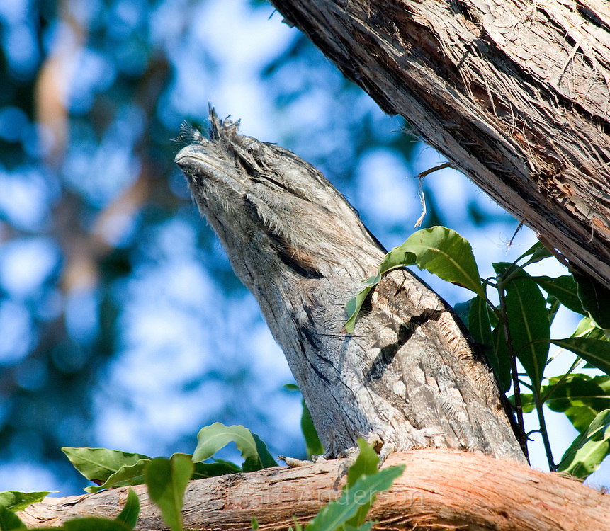 Tawny Frogmouth (Podargus strigoides), Royal National Park, Sydney, Australia