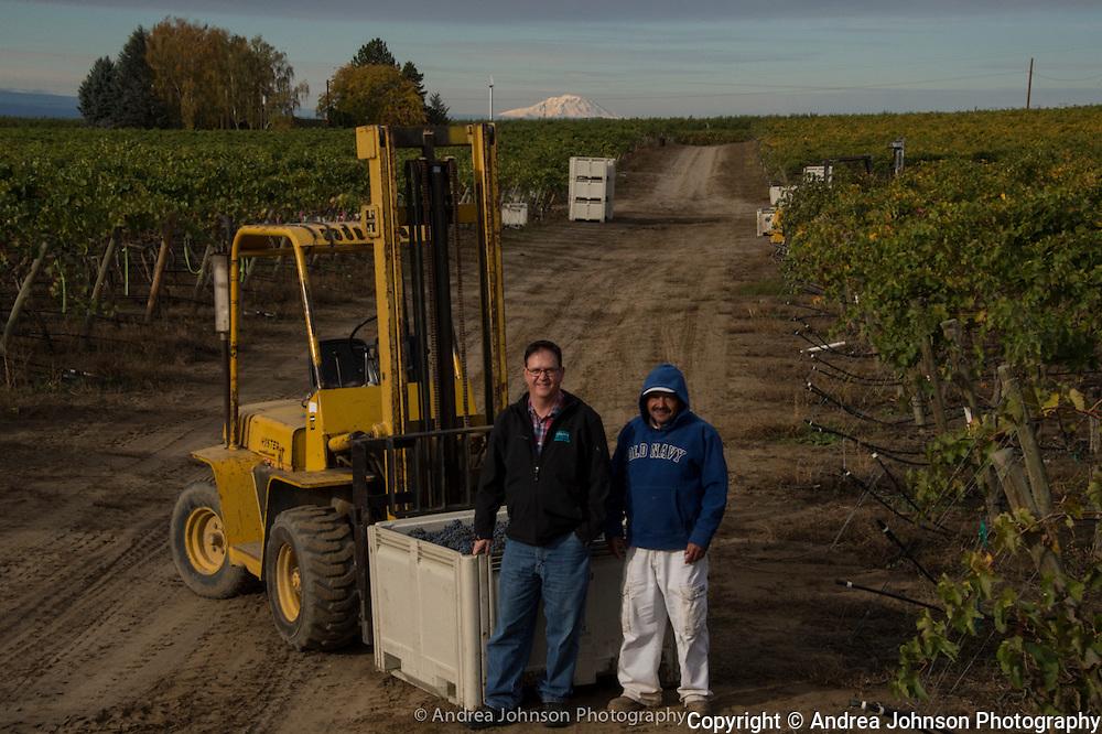 Cabernet harvet for Dunham winery at Lewis Vineyard, Yakima, Washington