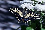 Papilio zelicaon - Anise Swallowtail