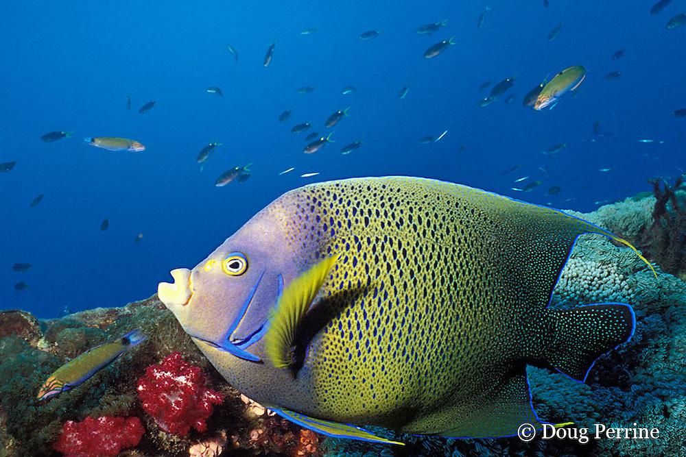 semicircle angelfish or Koran angelfish, Pomacanthus semicirculatus, Yongala wreck, Queensland, Australia ( Western Pacific Ocean )