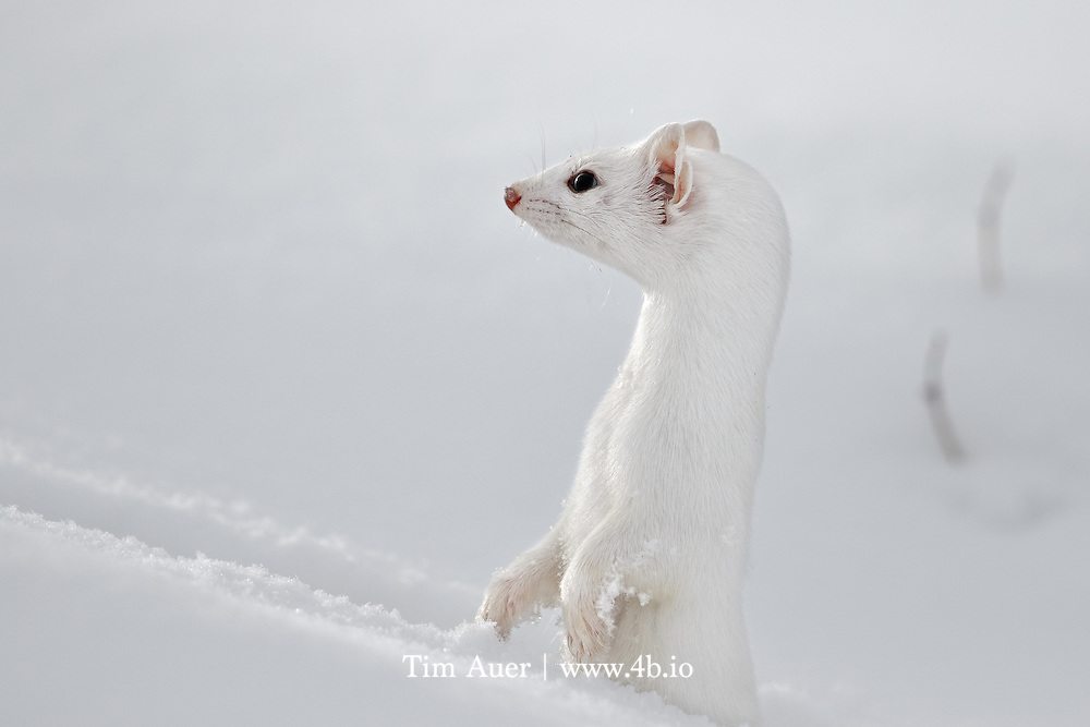 Alert and Invisible <br /> <br /> Long tailed weasel<br /> <br /> Yellowstone National Park<br /> <br /> This is not an easy subject to photograph, especially in winter! They are quick, clever animals with near perfect camouflage.  The only weakesses in its winter appearances are its three black spots: two eyes and the tip of its long tail. If it weren&rsquo;t for those black areas and the weasel's natural curiosity; I never would have managed to get this image. <br /> <br /> I was on my annual photo trip to Yellowstone with my parents. While driving slowly near Tower Junction my mom and dad in the front seat first spotted the weasel, or more accurately, observed its black tip bouncing across the snow-covered road in front of us.  They told me &ldquo;Ermine. 6 o&rsquo;clock. Go!&rdquo; I exited the backseat of the now parked vehicle with silent haste,  and began to scan for the weasel&rsquo;s characteristic tracks in the deep powder snow.  Like the weasel&rsquo;s fur, the scene lacked contrast. White on white on white, with an occasional stray sage brush poking above the snow.  After scanning the scene for what felt like an eternity, but in reality was seconds, I spotted the tracks and followed them with my eyes to a tiny hole where they ended. The weasel was nowhere to be seen. I prefocused my lens on the hole and assumed the opportunity was lost. As I scanned the area around the hole, I noticed two small eyes in a different hole closer to me, the weasel had reappeared and was looking at me. I trained my lens on the hole and manually focused but couldn&rsquo;t achieve focus. The problem wasn&rsquo;t lack of contrast, I was within the lens' 4.5m minimum focus distance. I leaned back as far as I could and hoped the weasel would give me one more opportunity. As I peered through the viewfinder, the weasel shot up, surveyed its surroundings, did a 180-degree turn, and vanished. <br /> <br /> This entire encounter, from first spot in car to last spot in snow, can be measured in seconds. In fact, based on the photo timestamps in this burst sequence, this weasel