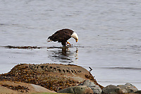 Bald Eagle (Haliaeetus leucocephalus), Qualicum Beach , British Columbia, Canada   Photo: Peter Llewellyn